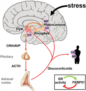 amygdala stress CRH ACTH hippocampus glucocorticoids adrenal fatigue