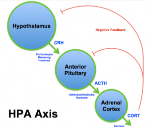 hypothalamus anterior pituitary gland adrenal cortex and negative feedback loop adrenal fatigue